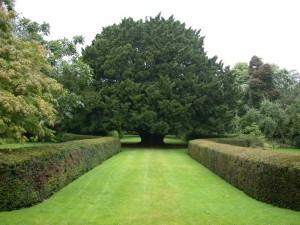 Dundonnell yew, Edinburgh botanical gardens
