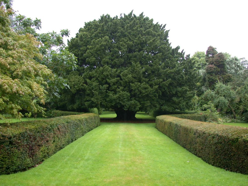 Tremendous trees the yew highland titles for Garden trees scotland