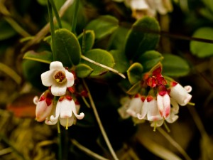 Cowberry flowers