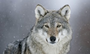Re-wilding, the Grey Wolf