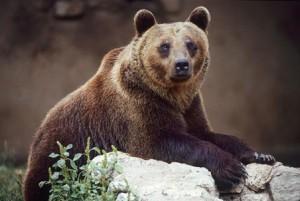 re-wilding, Italian Alpine Bear