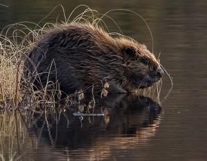 Re-wilding, European beaver