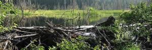 Re-wilding, beaver dam