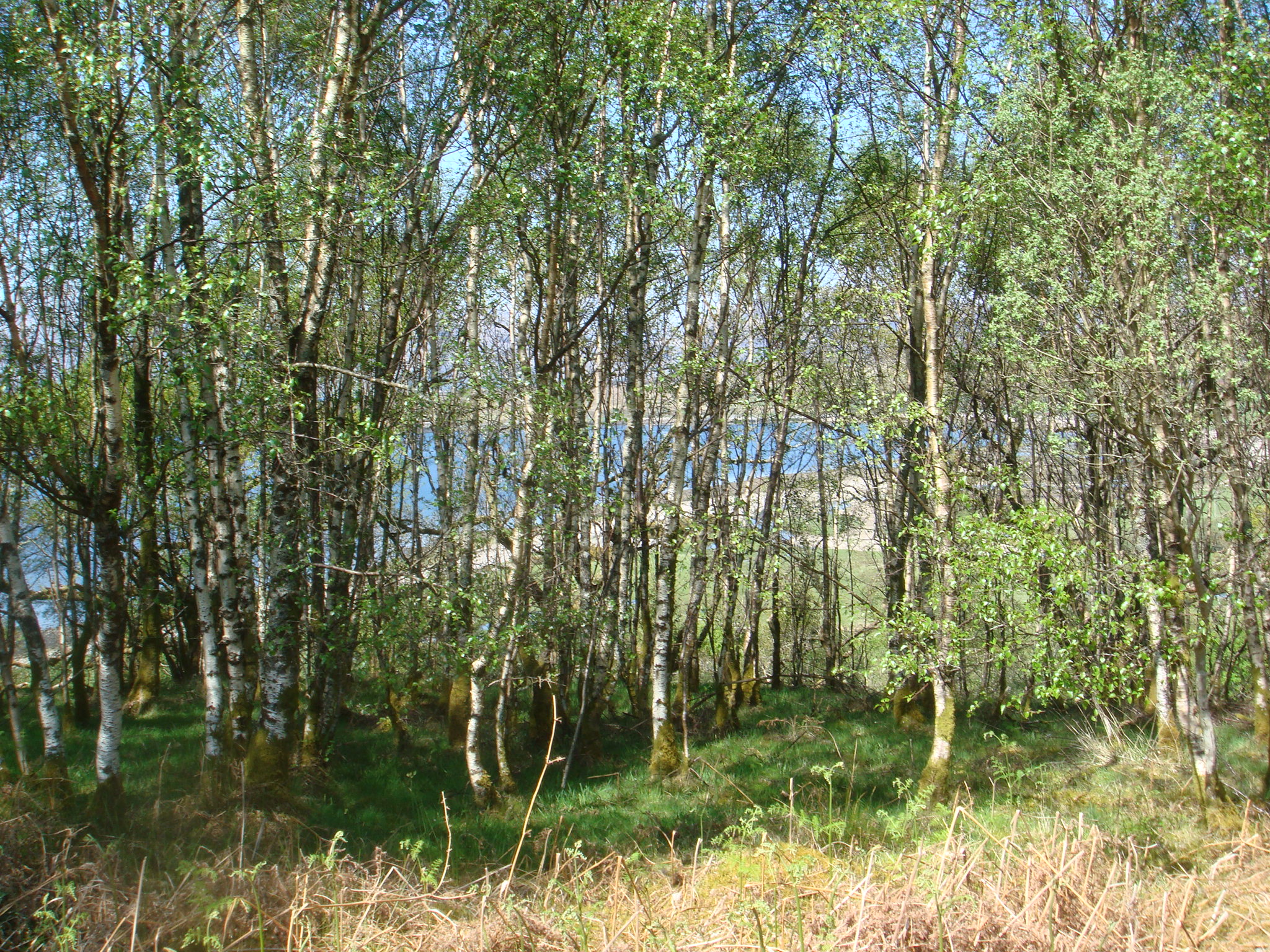Tremendous Trees Silver Birch Highland Les Updated 2018
