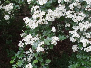 Wild food, hawthorn flowers