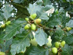 Wild Food, acorns