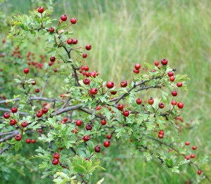 Wild food, hawthorn berries