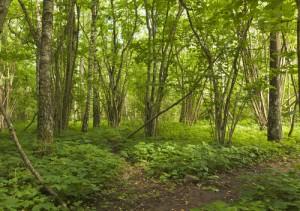 bracken on the forest floor