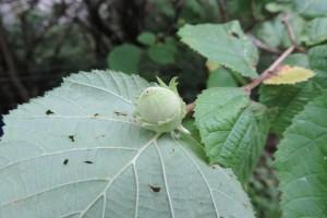 hazelnuts in reserve