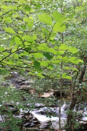 Hazel tree in Highland Titles Nature Reserve