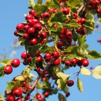 berries-693911_640