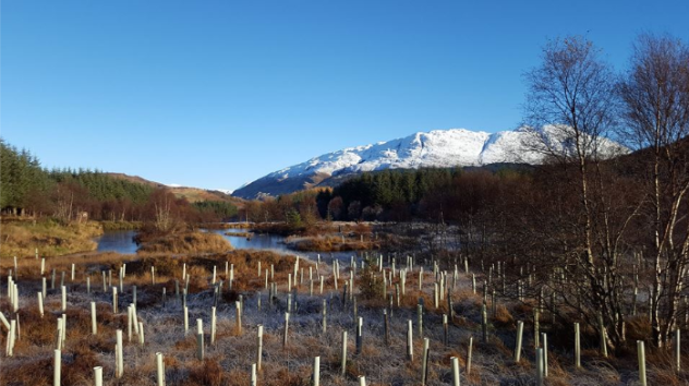 Planted trees on the lochan bank