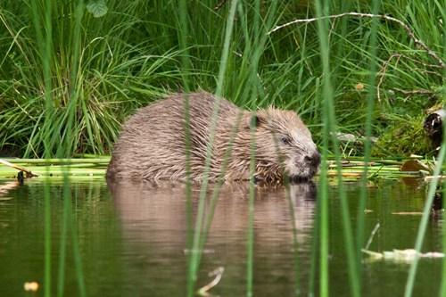 knapdale beaver