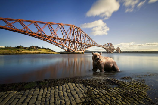 Bear in the Firth of Forth