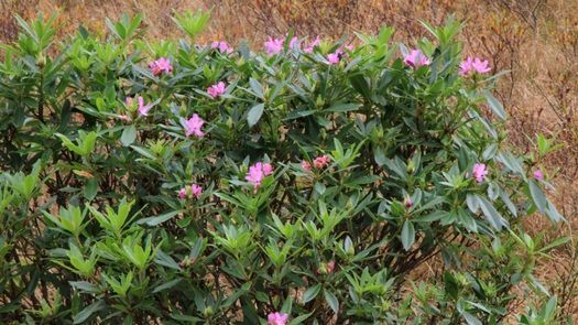 Highland Titles Sudden Oak Death Rhododendrons