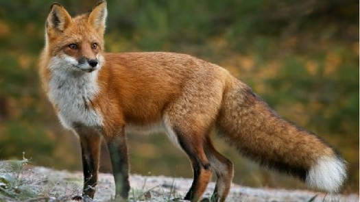 Highland Titles Nature Reserve Red Fox