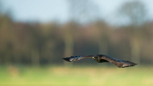 Highland Titles Buzzard January Updates From The Reserve