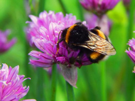 How Can I Help Bumblebee Conservation?