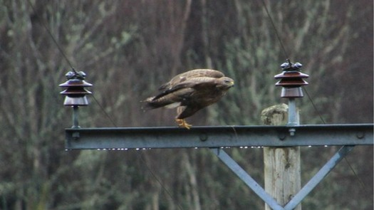 Highland Titles March Update From The Reserve Braveheart Buzzard