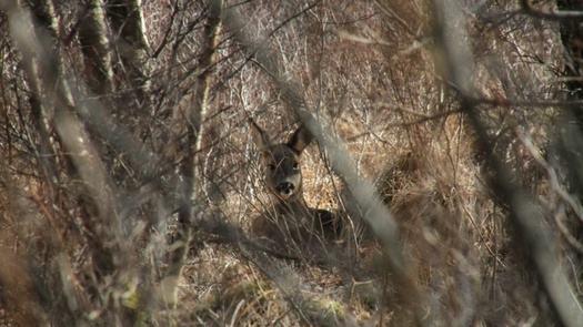 Highland Titles March Update From The Reserve Roe Deer