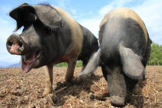 The Ronnies: Saddleback Pigs