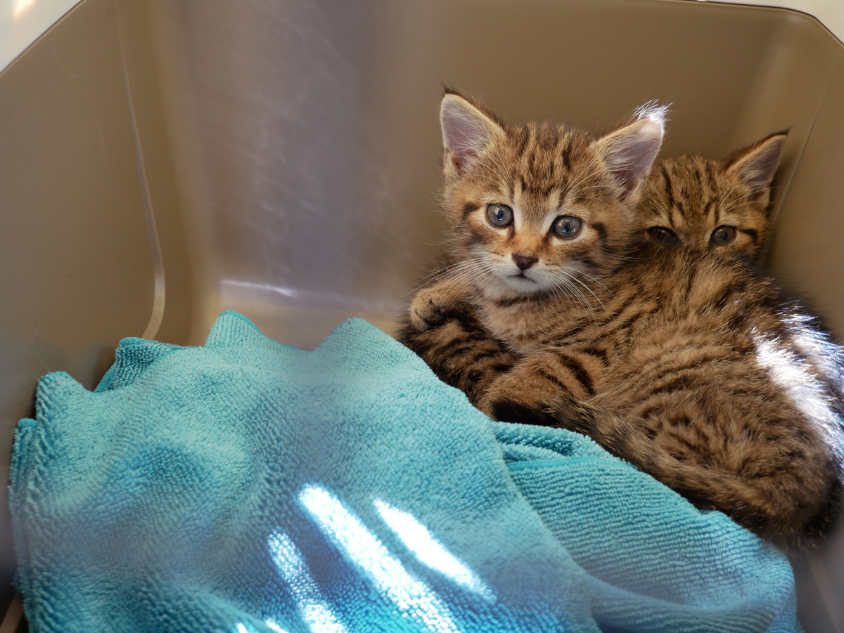 adopt a wildcat