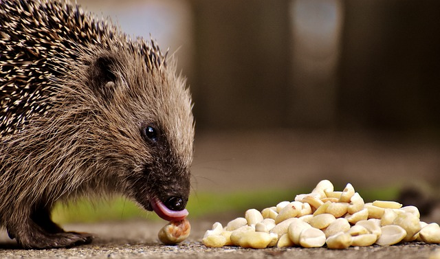 Hedgehog Child Eating