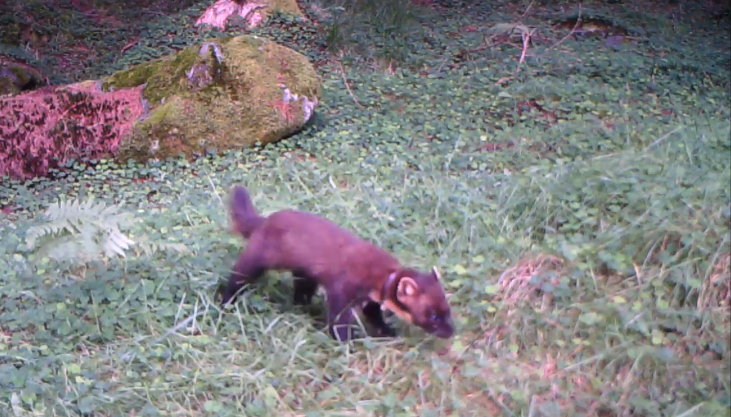 Pine Marten Caught on SpyCam