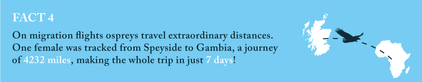 Fact 4: On migration flights ospreys travel extraordinary distances. One female was tracked from Speyside to Gambia, a journey of 4232 miles, making the whole trip in just 7 days!
