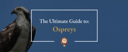 The Ultimate Guide to Ospreys
