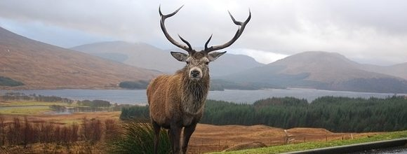 Red Deer Stag in the Scottish Highlands
