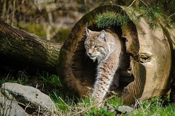 Lynx: a native Scottish species