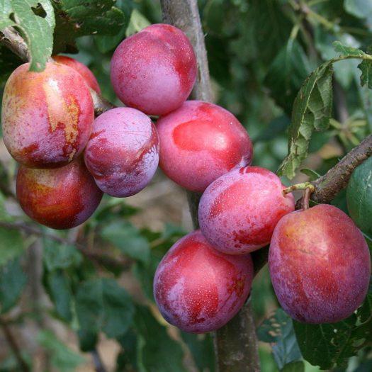 Choosing Fruit Trees in Scotland