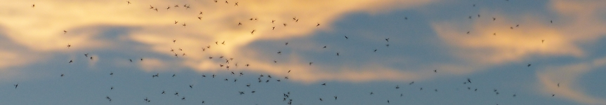A swarm of midges.
