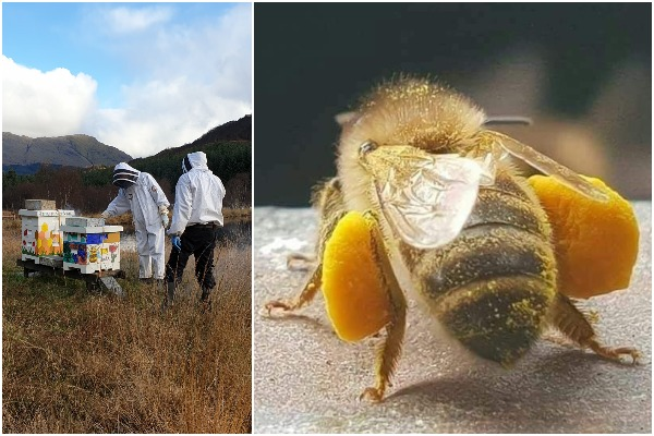 Collage of our bee hives and a close-up of pollen boots in a bee