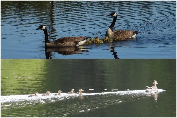 Goslings and Ducklings