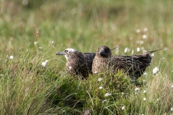 Bonxie (Great Skua)