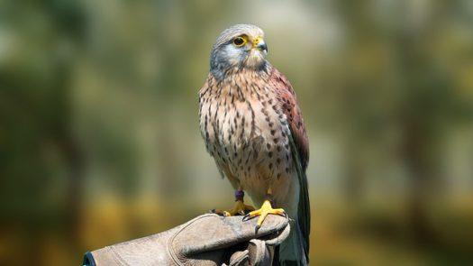 Scottish Birds: Birds of Prey, Garden Birds & More