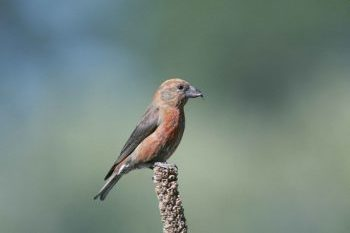 Scottish Crossbill