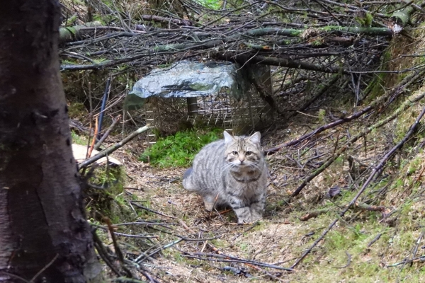 Scottish Wildcat calmly standing in front of trap
