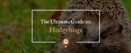 The Ultimate Guide to Hedgehogs