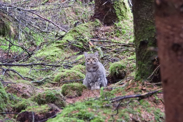 Scottish Wildcat in Woodland