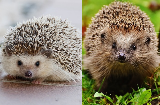West European vs African Pygmy hedgehog