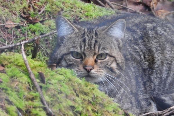 Close-Up Shot of Hybrid Scottish Wildcat