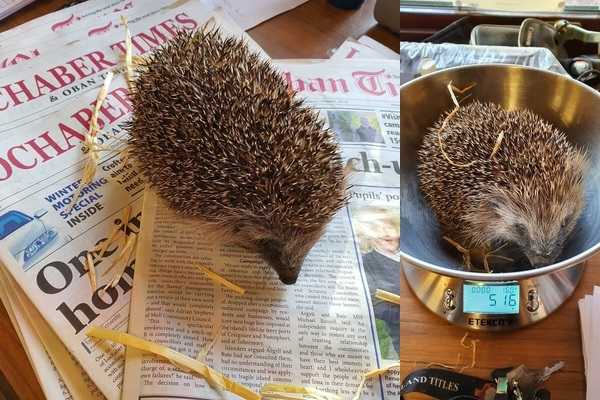 Collage of hedgehog on top of Lochaber Times and another hedgehog being weighed