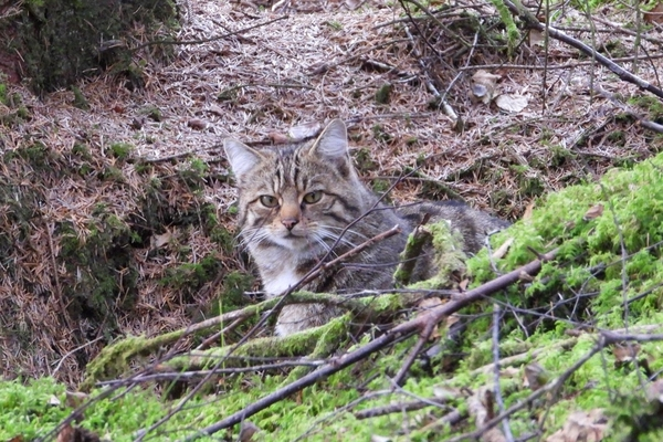 Hybrid Scottish Wildcat