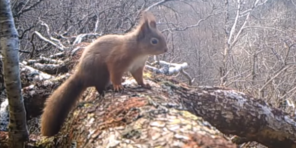 Red squirrel caught by SpyCam