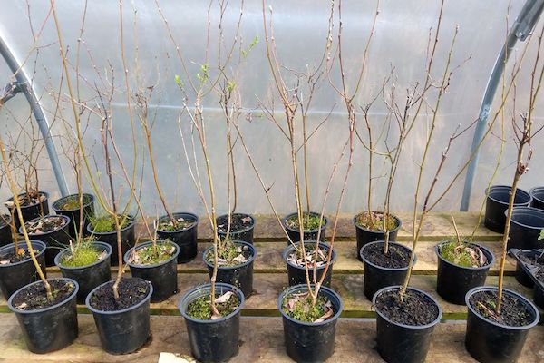 Growing Willow Trees