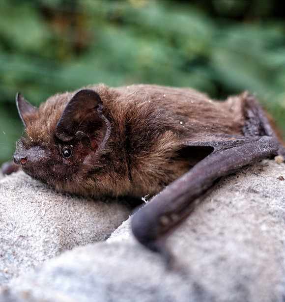 Common Pipistrelle Bat (Pipistrellus pipistrellus)