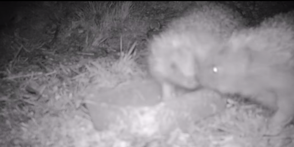 Hedgehogs Caught By Spycam